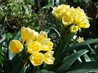 Clivia miniata - G1 Yellow/Cream