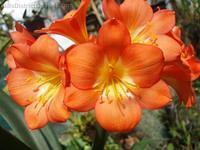 Clivia miniata - Orange