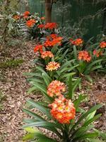 Clivias in garden setting @ Northmead